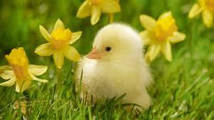 chick amoung daffodils