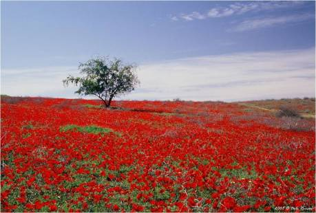 Tree in Field of Red Flowers in Israel