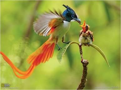 Bird of Paradise Feeding Chick - Copy - Copy