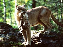 cougar with cub - Copy - Copy