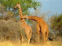 giraffe - Copy - Copy