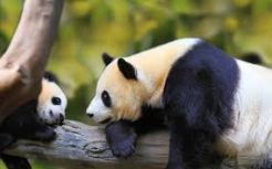panda and cub - Copy - Copy