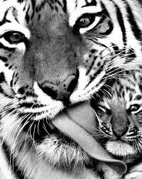 tiger with cub 2 - Copy (3)